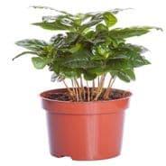 Coffea arabica nana 15 seeds - House plant