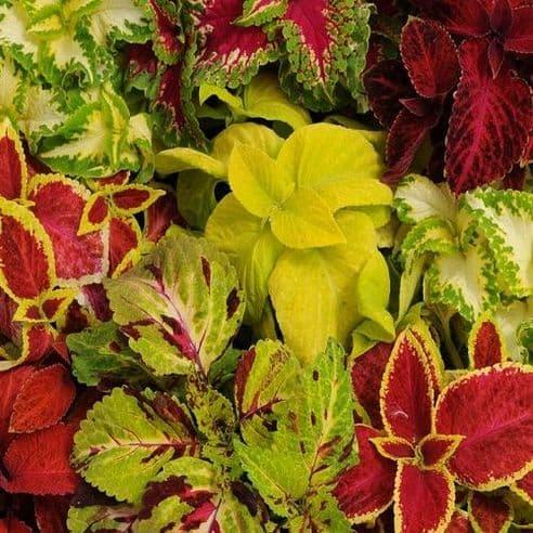 Coleus Wizard Mix - 50 Pelleted seeds Green house perennial