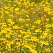 Corn Marigold - Chrysanthemum segetum - Appx 3000 seeds