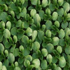 Corn Salad Vit - 1000 seeds