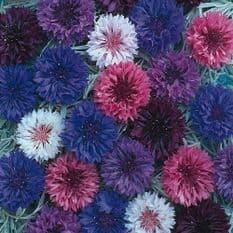 Cornflower Ball mixed - Appx 1000 seeds