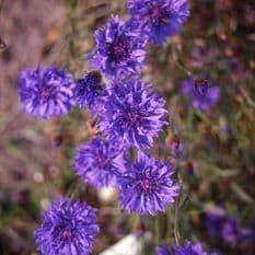 Cornflower Blue Ball - Centaurea cyanus - 1000 seeds