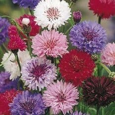 Cornflower Polka dot mixed - 1000 / 2000 seeds