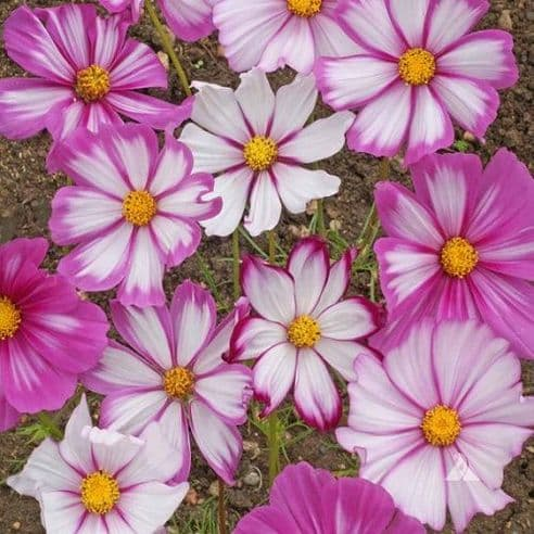 Cosmos Candy Stripe - appx 100 seeds