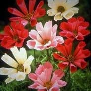 Cosmos Sea Shells Mix - appx 80 seeds