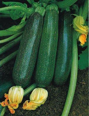 Courgette F1 Ambassador - 20 seeds - Vegetable