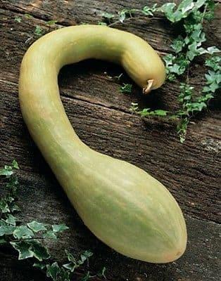 Courgette Tromboncino Albenga 10 seeds