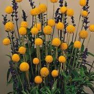 Craspedia globosa Drumstick - Appx 100 seeds