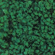 Cress Curled 10,000 - 20,000 seeds