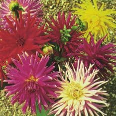 Dahlia Cactus Flowered Mix - 40 seeds - 120 seeds
