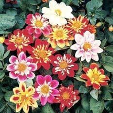 Dahlia Dandy mixed - 200 seeds