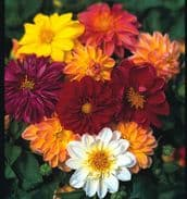 Dahlia figaro mix 50 seeds