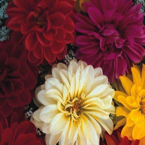 Dahlia Unwins Dwarf Mix - 65 seeds