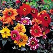 Dahlia variabilis - Bishops Children 30 seeds
