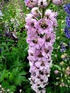 Delphinium Astolat Appx 50 seed