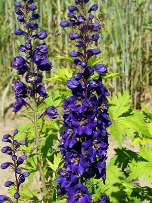 Delphinium Black Knight Appx 50 seed
