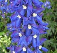 Delphinium Blue Bird Appx 100 seed