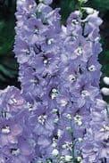 Delphinium Camelliard -  Appx 50 seed