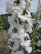 Delphinium Galahad Appx 50 seed