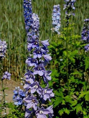 Delphinium Guinevere Appx 50 seed
