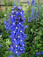 Delphinium King Arthur Appx 50 seed