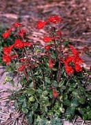 Delphinium nudicale RedCap - 12 seeds