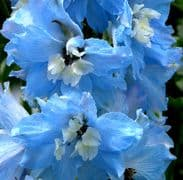 Delphinium Summer Skies Appx 50 seeds