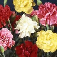 Dianthus caryophyllus triumph Mix - Carnation - 650 seeds