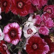 Dianthus heddewegii Gaiety Mix - indian Pinks - Appx 900 seeds