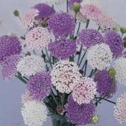 Didiscus (Trachymene) Lacy Mix - Appx 100 seed