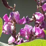 Dolichos purpurea Lablab Hyacinth Bean 20 seeds
