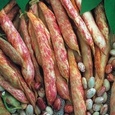 Dwarf French Bean Borlotto - Lingua Di Fuoco 40 seeds / 80 seeds