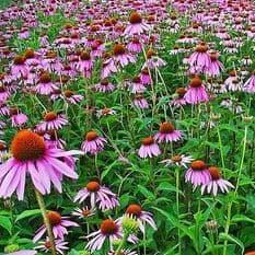 Echinacea purpurea Purple 180 seeds