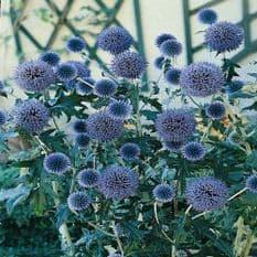 Echinops Ritro - Metallic Blue - Globe Thistle - 5 grams - Bulk Discounts available