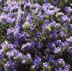Echium Blue Bedder Appx 240 seeds