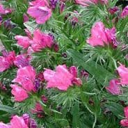 Echium Pink Bedder Appx 240 seeds