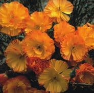 Eschscholzia Mission Bells  Californian Poppy Appx 2000 seeds
