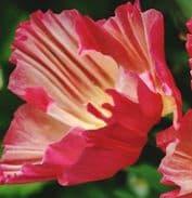 Eschscholzia Thai Silk mix - appx 150 seeds