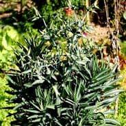 Euphorbia lathryus - Spurge - 10 seeds