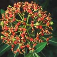 Euphorbia mellifera - Honey Spurge - 5 seeds
