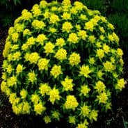 Euphorbia polychroma - Spurge - 40 seeds