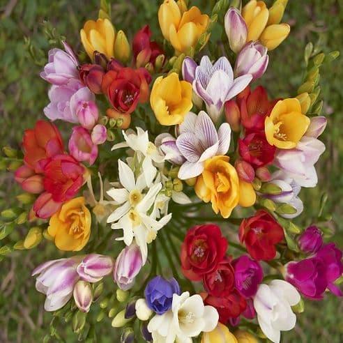 Freesia Royal Crown mix 50 seeds