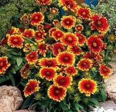 Gaillardia Arizona Sun - 15 seeds