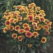 Gaillardia Goblin - Appx 125 seeds