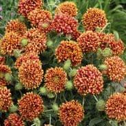 Gaillardia pulcella Sundance bicolor - Appx 125 seeds