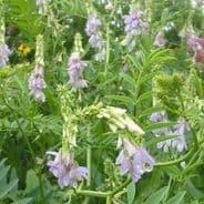 Galega Officinalis - Goats Rue - 50 seeds