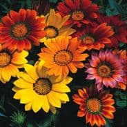 Gazania Splendens mix - 10 seeds