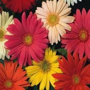Gerbera jamesonii Hybrids Mix - 100 seeds