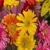Gerbera jamesonii Hybrids Mix - 40 seeds