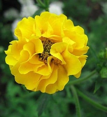 Geum - Lady Stratheden - Appx 100 seeds